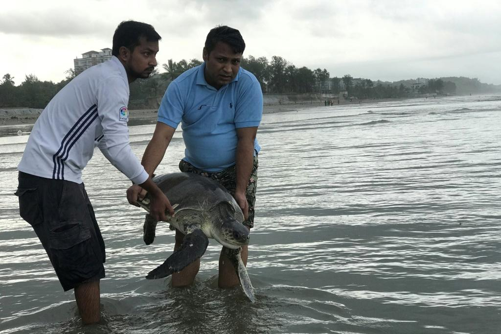 A rescued turtle is released back into the sea at Cox's Bazar. At least 20 were killed and dozens trapped in tonnes of plastic waste washed ashore