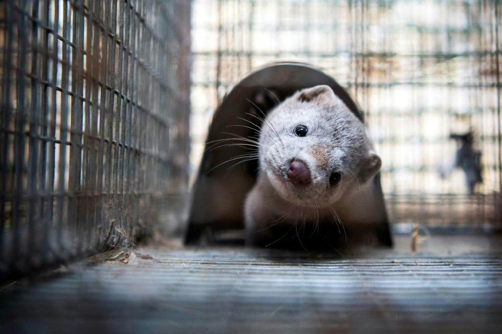 Officials have carried out a string of PCR tests which on July 13 showed that 87 percent of the farm's mink were infected