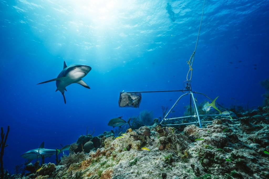 The study warns that policies focused on protecting reef sharks may not be enough, given the predators rely on a healthy reef and abundant prey to survive