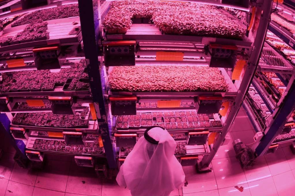 Al-Badia market garden farm produces an array of vegetable crops in multi-storey format, carefully controlling light and irrigation as well as recycling 90 percent of the water it uses