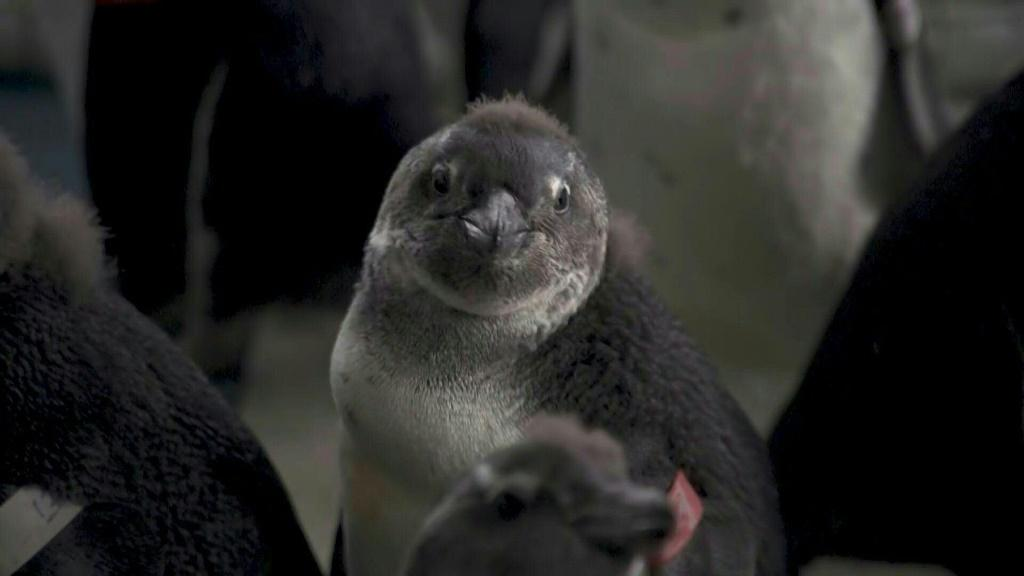 Cargo ships refuel within five kilometers of the world's largest breeding colony of African penguins, near the South African city of Port Elizabeth. But the species' numbers have dwindled in the tourism hotspot, raising alarms among environmental experts