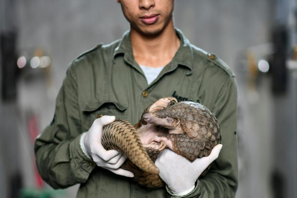 Head keeper Tran Van Truong gently takes a curled-up pangolin into his arms, comforting the shy creature rescued months earlier from traffickers in Vietnam