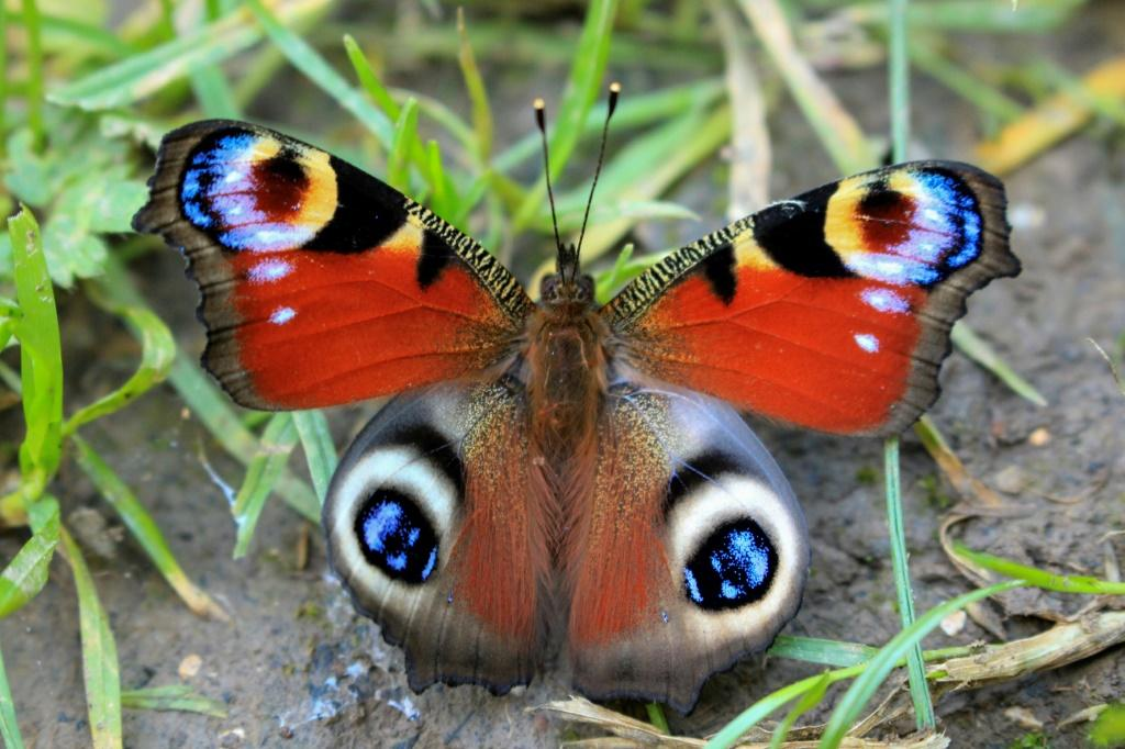 Colourful larger species, like this Peacock, struggle to moderate their temperature, but they do better than smaller butterflies