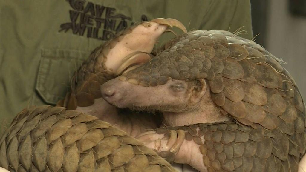 Life remains precarious for the world's most trafficked mammal, the pangolin, despite Vietnam's renewed vow to crack down on the illegal wildlife trade that many blame for the coronavirus pandemic.