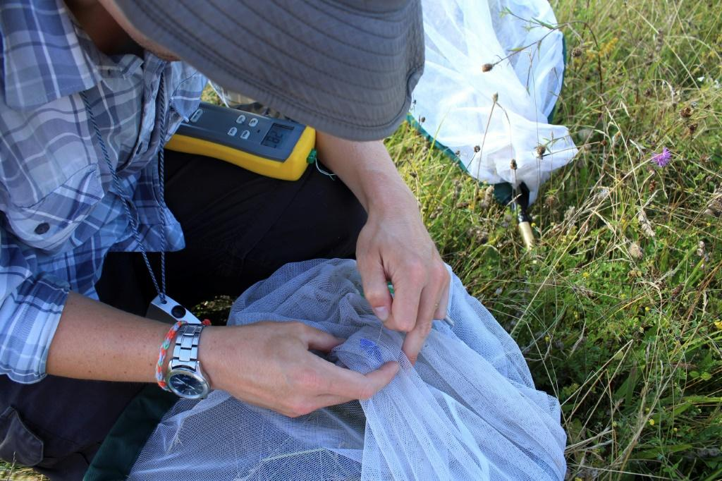 Researchers took the temperature of the butterflies they caught using a tiny thermometer
