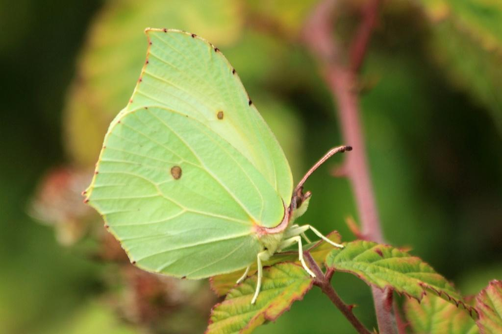 The study found that bigger, pale-coloured butterflies, like this Brimstone, are better at thermoregulation