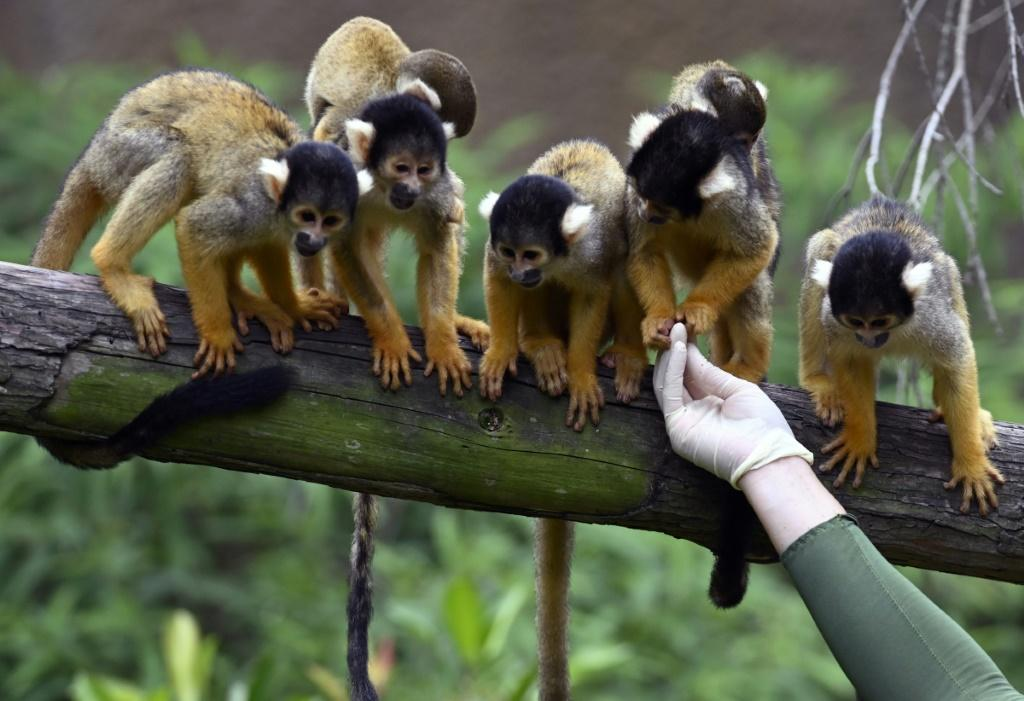 Black-capped squirrel monkeys waiting for food at Taipei Zoo