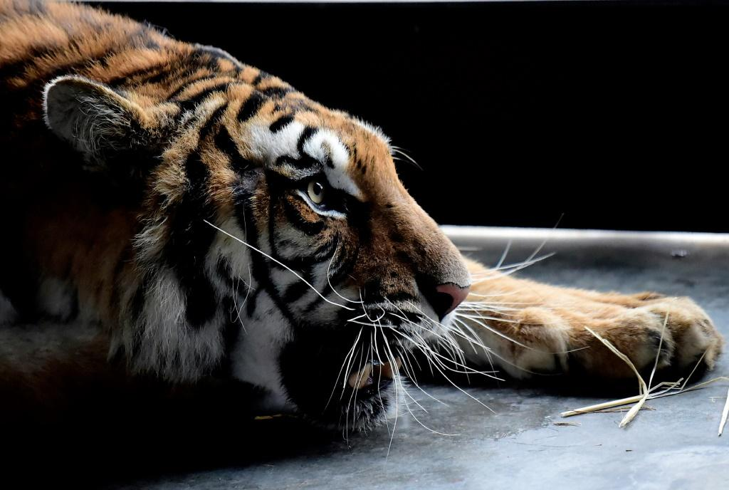 Last year Polish border authorities found 10 emaciated and dehydrated big cats in the back of a truck taking them from Italy to a zoo in Russia's Dagestan Republic
