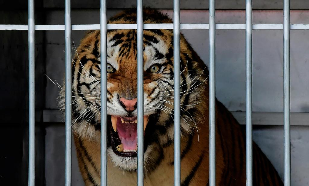 The latest report called for an urgent EU ban on commercial trade in tigers