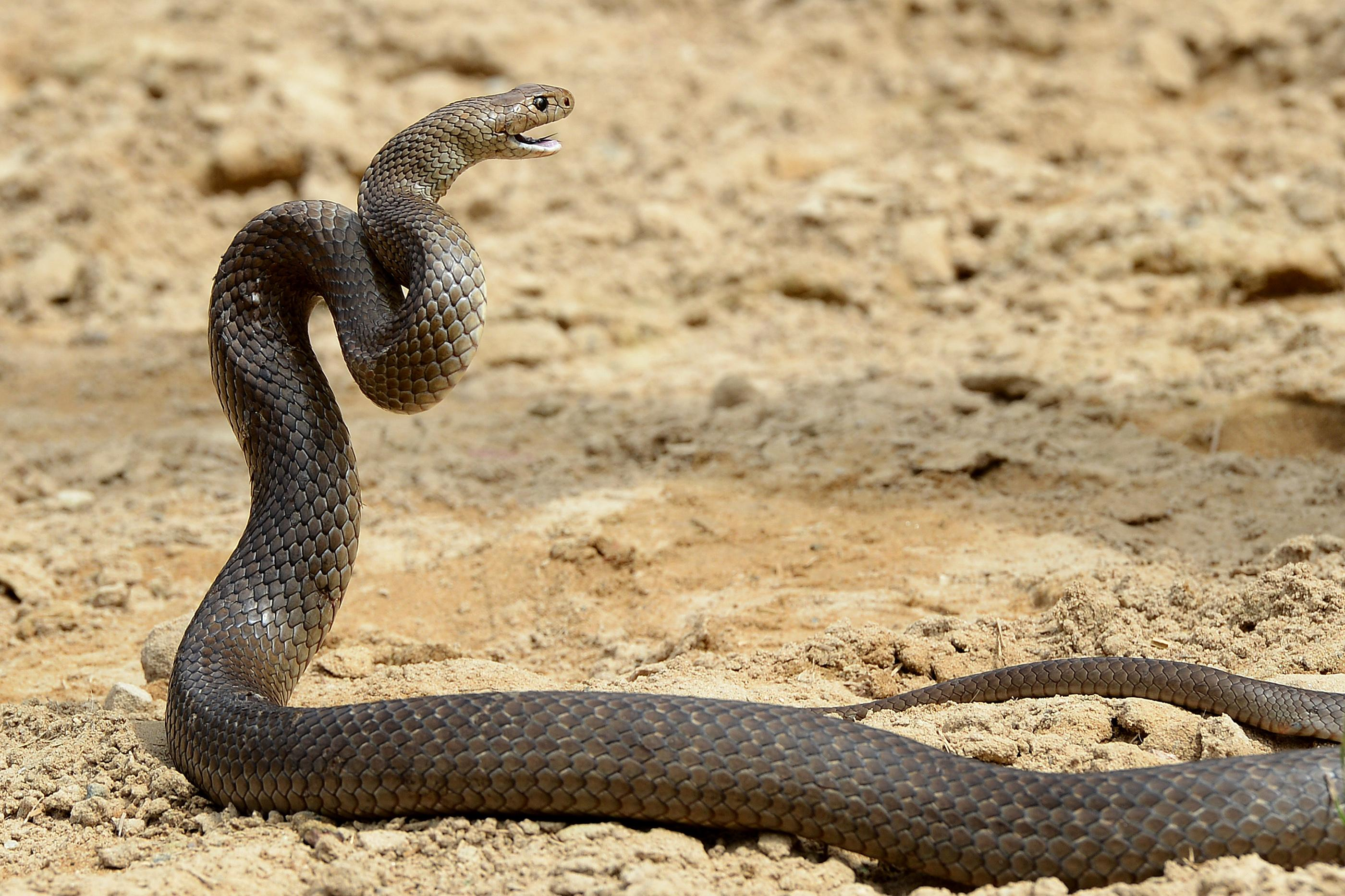 eastern brown snake