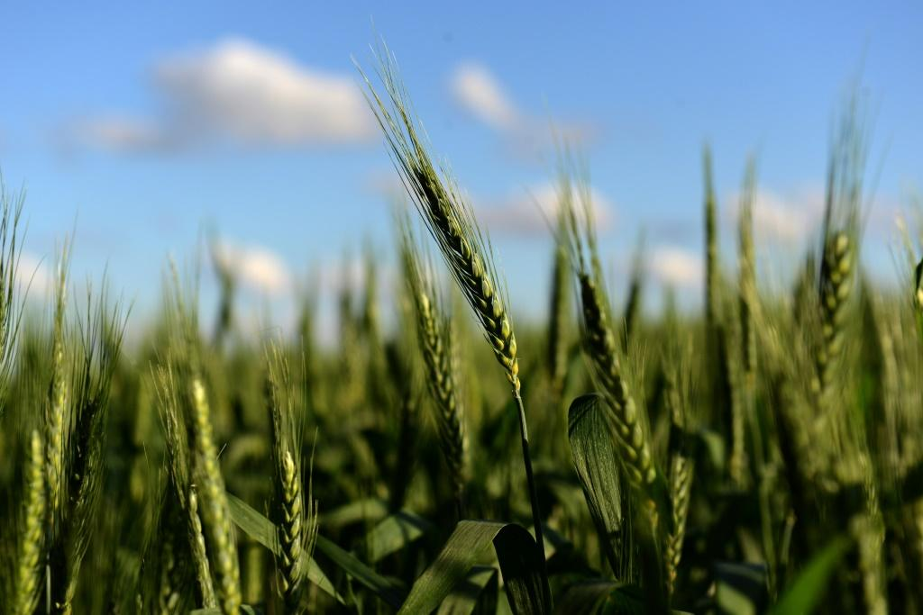 The scientific commission of Argentina's agriculture ministry said it had approved a drought-resistant variety of wheat in the world's fourth-largest exporter of the crop