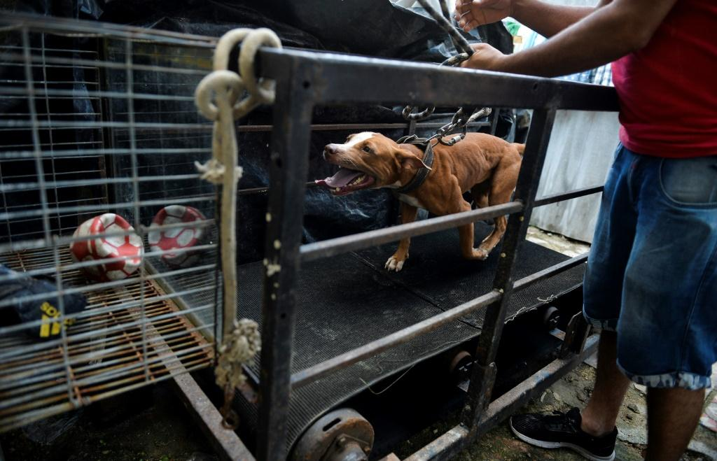 A man trains his dog for an illegal fight -- which often attract big bets in Cuba