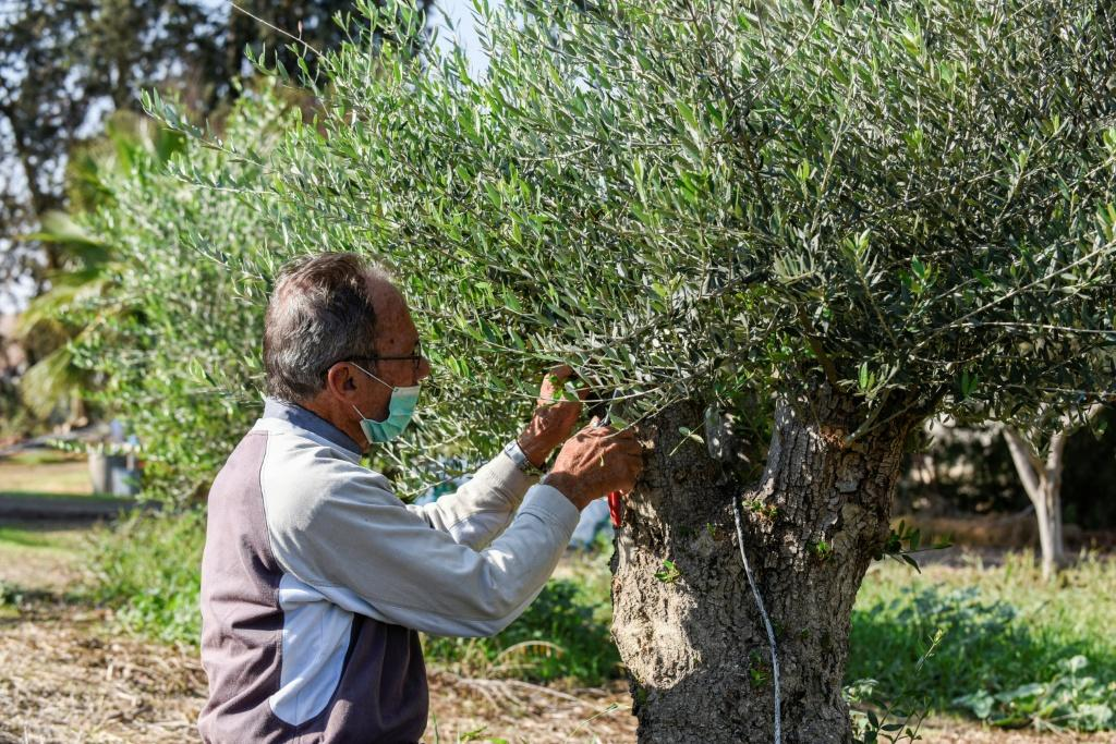 A caretaker at a Cypriot olive grove prunes branches of a tree in Akaki