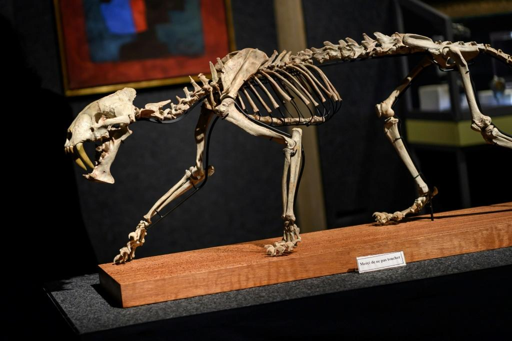 A South Dakota rancher last year discovered this rare 37-million-year-old skeleton belonging to what is popularly known as a sabre-toothed tiger. It was found virtually intact and is expected to sell for tens of thousands of dollars
