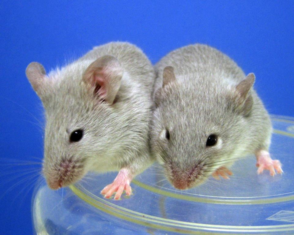 Researchers have restored the sight of mice suffering damage from age, injury or disease in a new treatment
