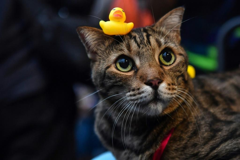 A small yellow rubber duck is placed on the head of a cat during a pro-democracy rally