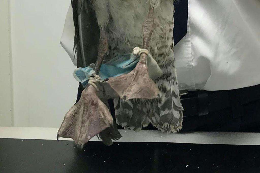 The British charity RSPCA rescued a gull which had its feet tangled in a face mask