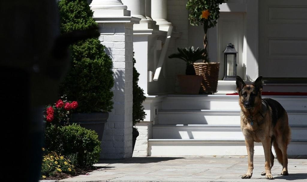 President-elect Joe Biden is bringing not one, but three pets to the White House: German shepherds Champ (pictured 2012) and Major, and a cat whose name and breed have not yet been revealed