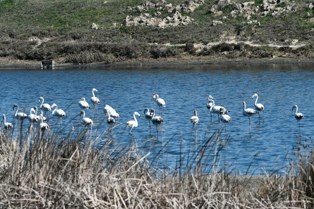 Around 50 pink flamingos are known to have died there after ingesting lead birdshot
