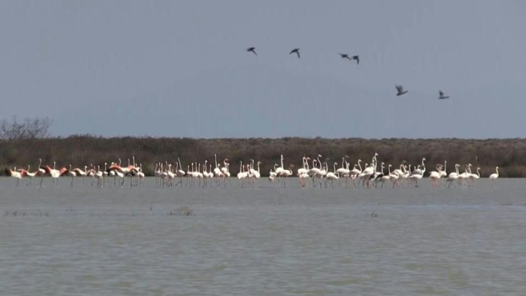 Animal activist group Action for Wildlife takes stock of the damage and works to help surviving birds as Greek flamingos are found dead from lead poisoning near Agios Mamas and Thessaloniki in Greece.