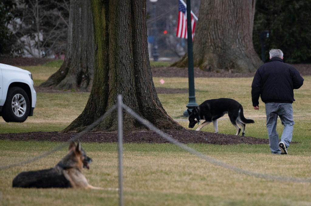 First dogs Champ and Major Biden are seen on the South Lawn of the White House in Washington, DC, on January 25, 2021