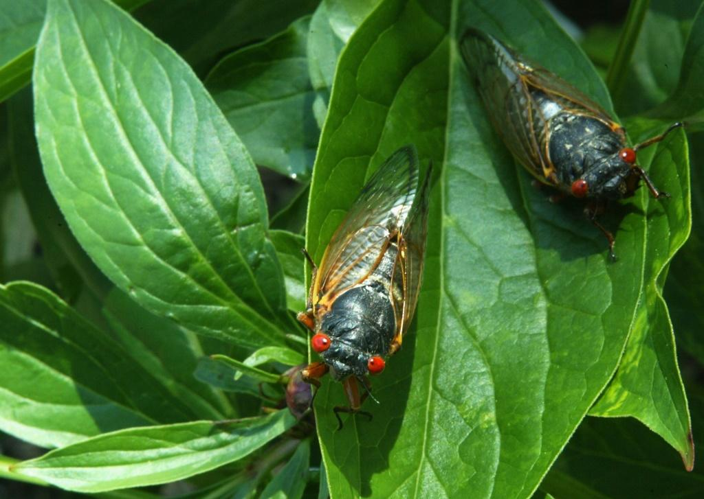 Newly emerged adult cicadas dry their wings on May 16, 2004 at a park in Washington; their 17-year life cycle means they are due to return in 2021