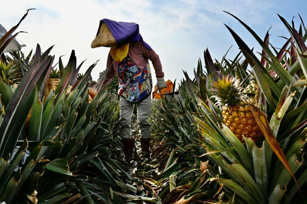While much of Taiwan's pineapple crop is consumed at home, 90 percent of its overseas shipments head for sale in the vast Chinese market