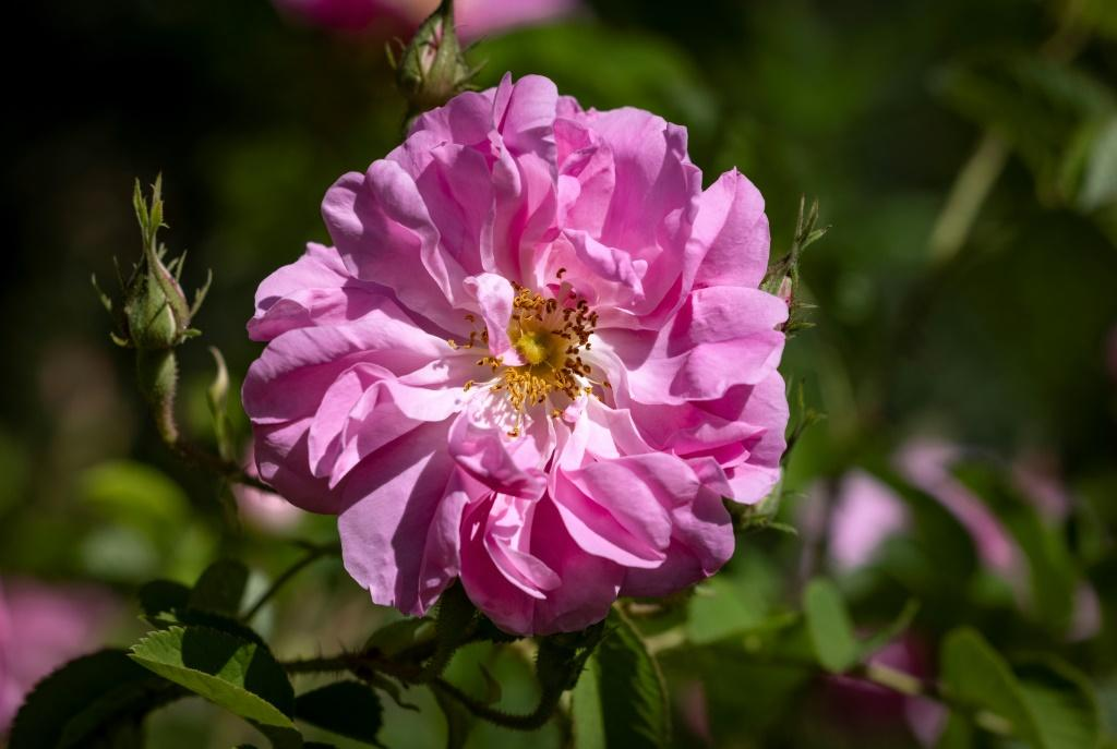 Many of the flowers are the Rosa Damascena, a variety introduced in the days of the caravan trade