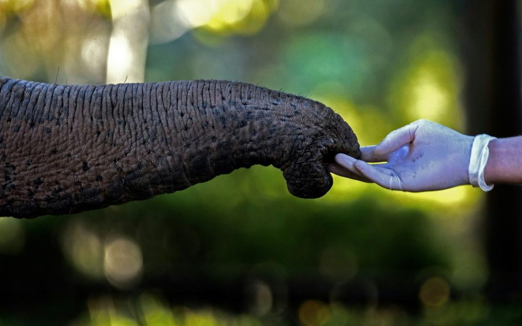 A tusker's proboscis can also switch to vacuum mode to eat