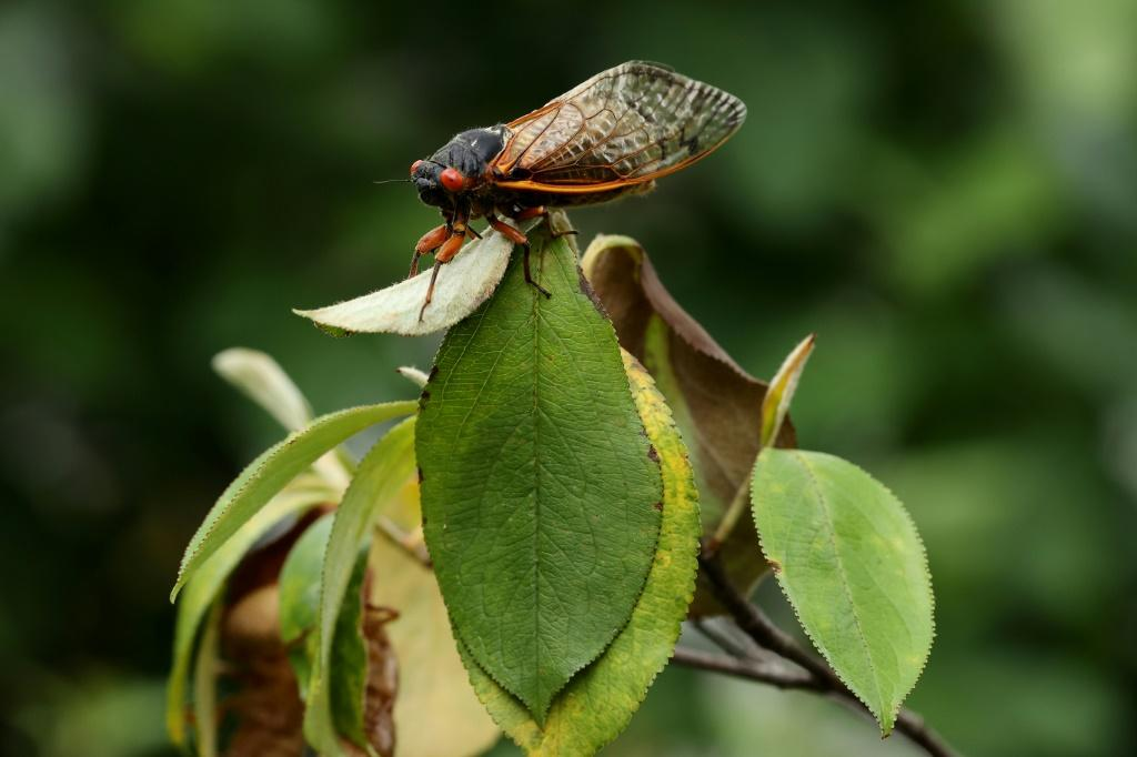 Billions of cicadas are emerging from the ground in the United States -- but authorities warned seafood-allergic people not to eat them