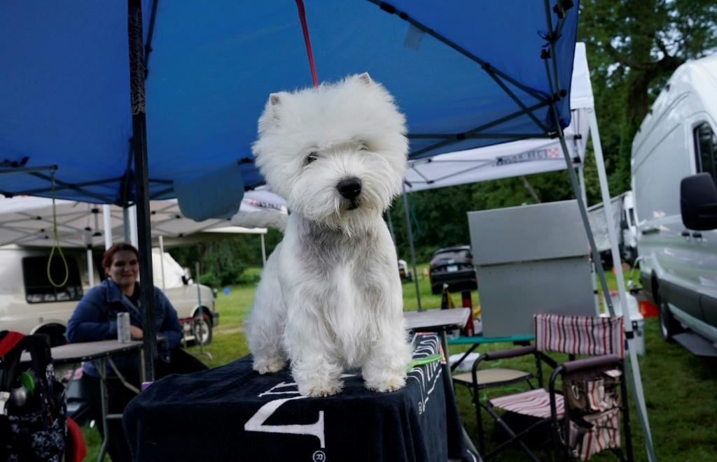 A West Highland White Terrier is seen in the benching area