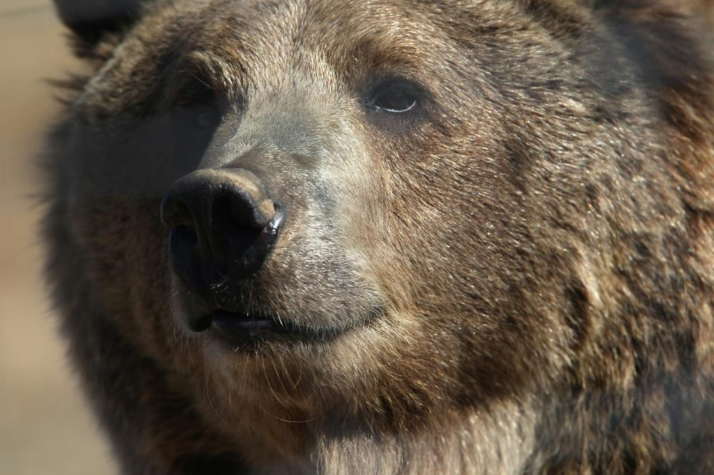 A female grizzly bear is seen in a Colorado sanctuary in October 2011