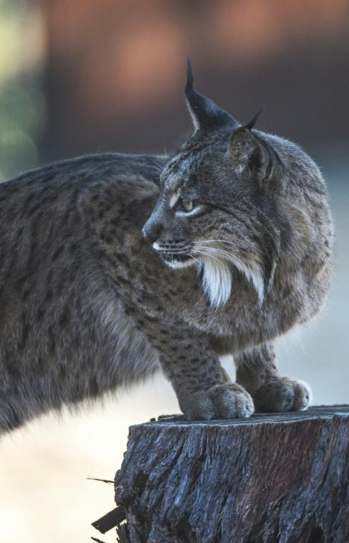 Since 2011, the breeding centres have released just over 300 lynxes