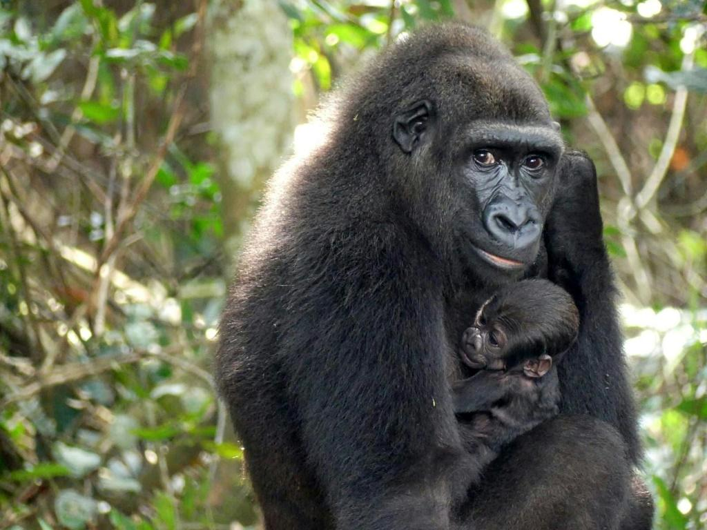 The 300,000-hectare (740,000-acre) Ivindo park is is home to many engangered animals such as gorillas
