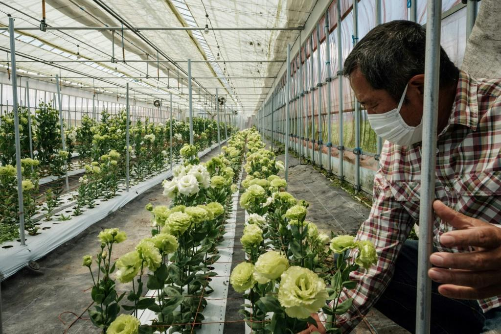 The blooms come from three regions, Fukushima, Miyage and Iwate, which were among those devastated in 2011