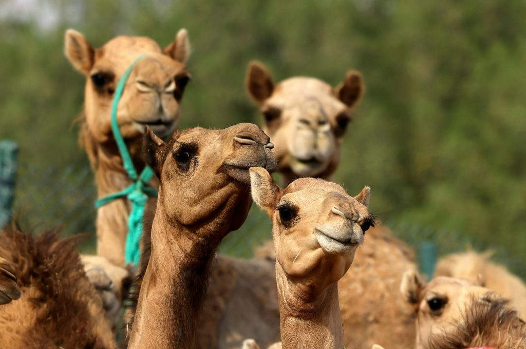 Spot the difference: cloned camel calves are big earners in the Gulf region