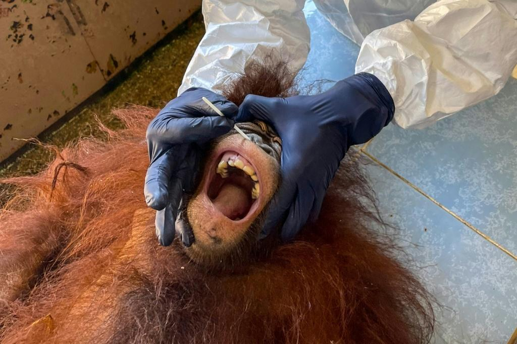 Dozens of critically endangered orangutans in Malaysia have been tested for the coronavirus
