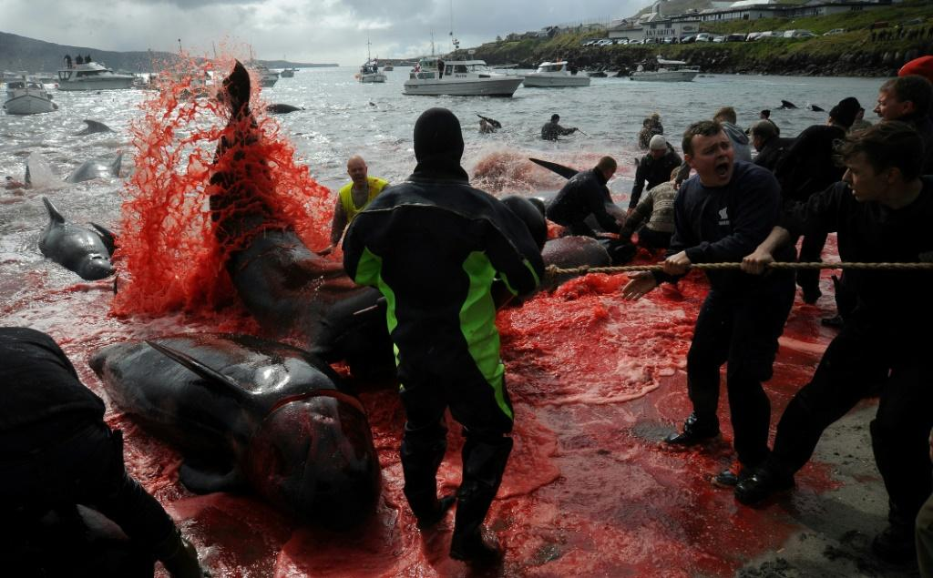 Traditionally, the Faroe Islands hunt pilot whales and not dolphins