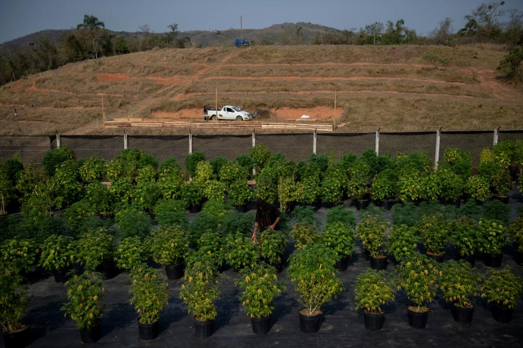 Cannabis plants are seen at the Apepi farm, which uses them to make therapeutic oil to help patients with seizures and other conditions