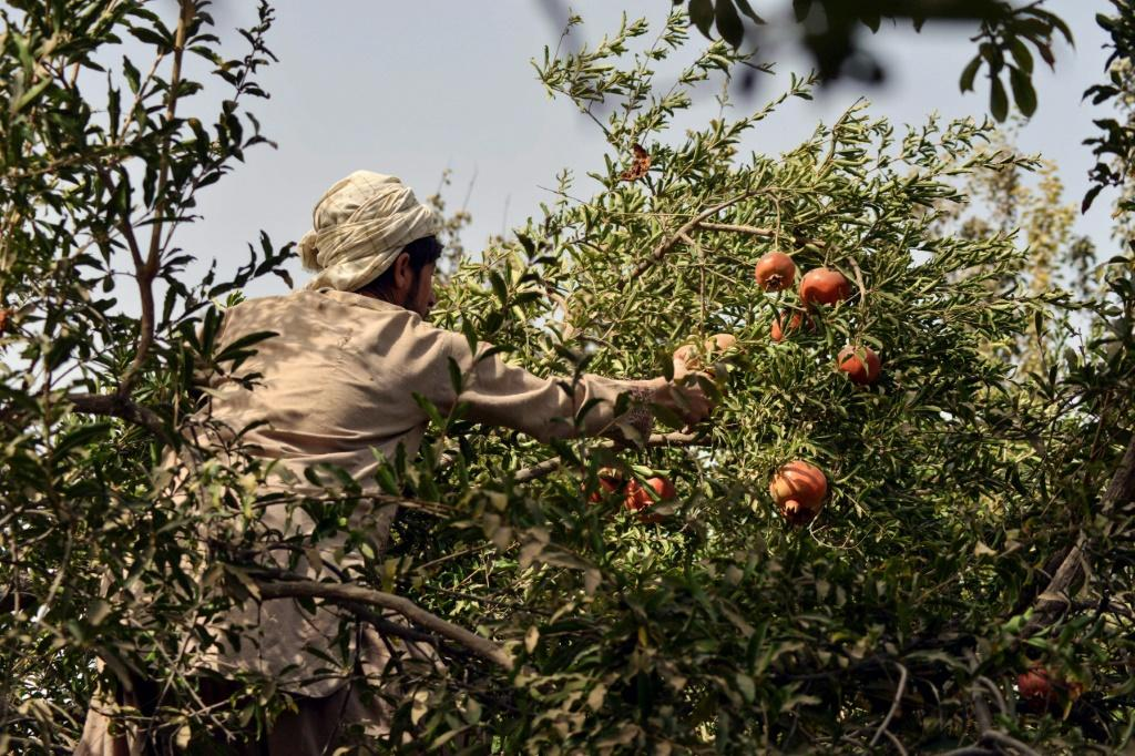 This pomegranate season comes as Afghanistan finds itself engulfed in multiple crisis following the Taliban takeover