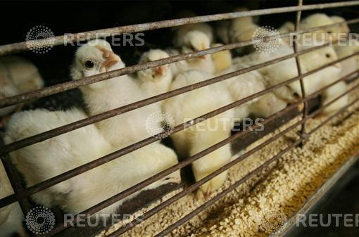 Unfounded Rumors About Coronavirus Wreaking Havoc With India's Poultry Industry
