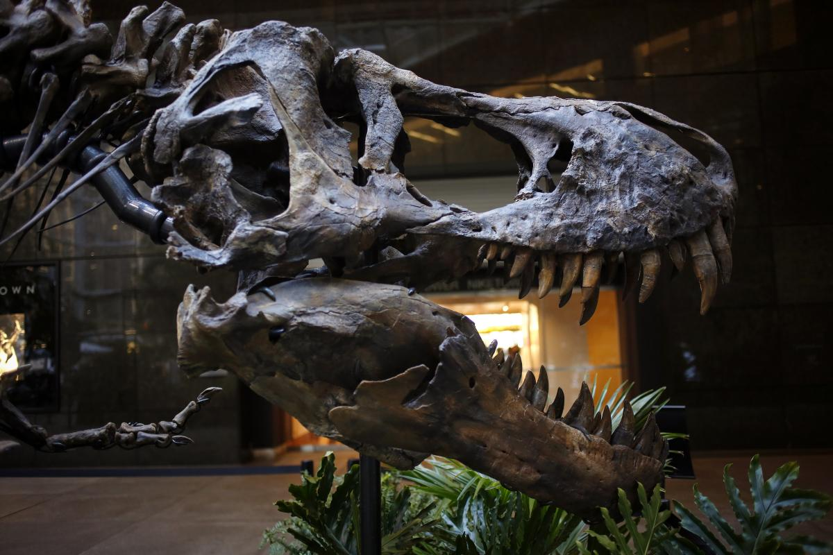 'Dueling Dinosaurs' Fossil Fails To Sell At Auction, Highest Bid Was For $5.5 Million