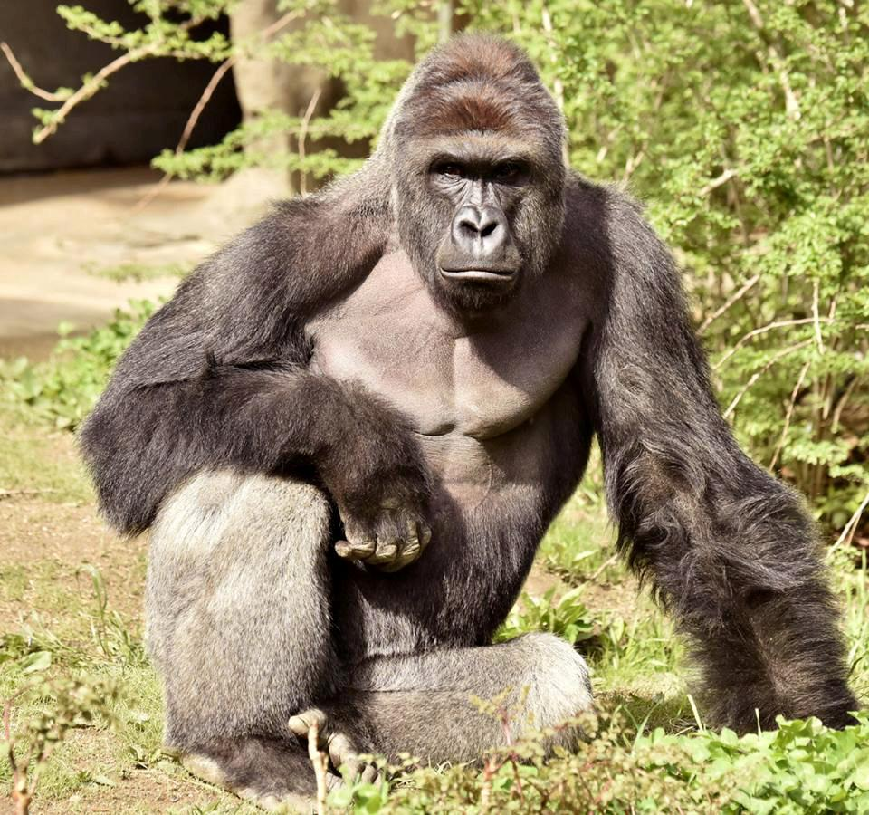 Gorilla Killing: Harambe's Shooting In Cincinnati Zoo Triggers Backlash