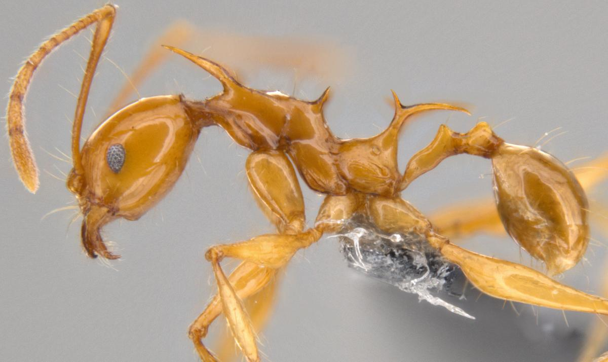 Dragon Ants: Scientists Discover Ants That Look Like Khaleesi's Dragons In 'Game Of Thrones'