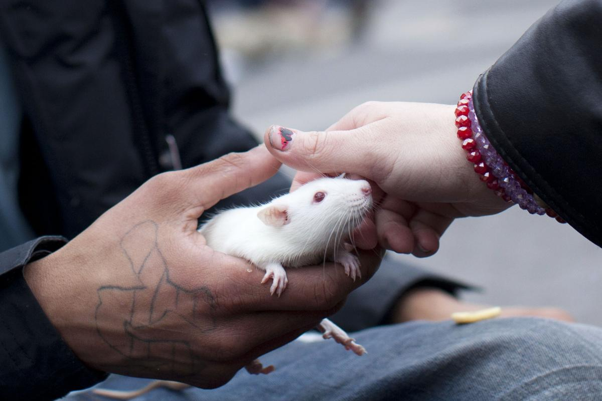 How Does Disease Spread? NYC Rats Spreading Deadly Rare Bacterial Infection With Urine