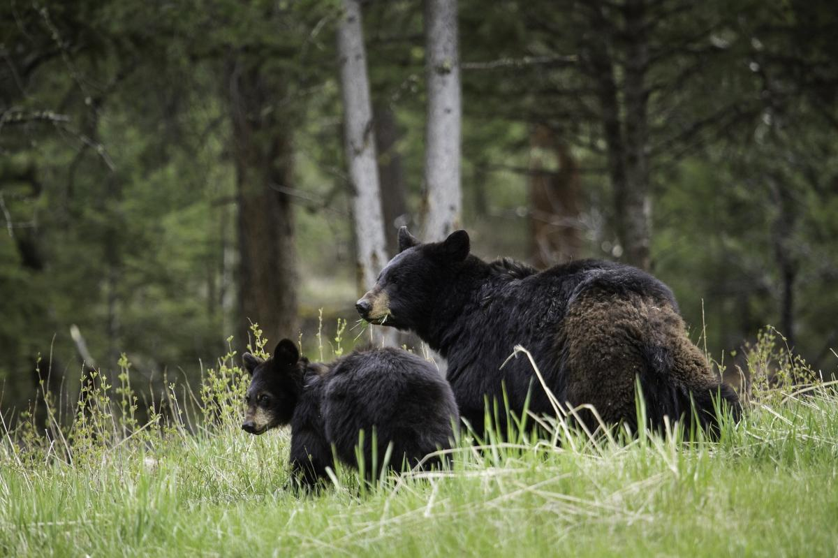Black Bear Population On Rise In Mountain Forest Habitats After Hunting Humans Slashed Numbers