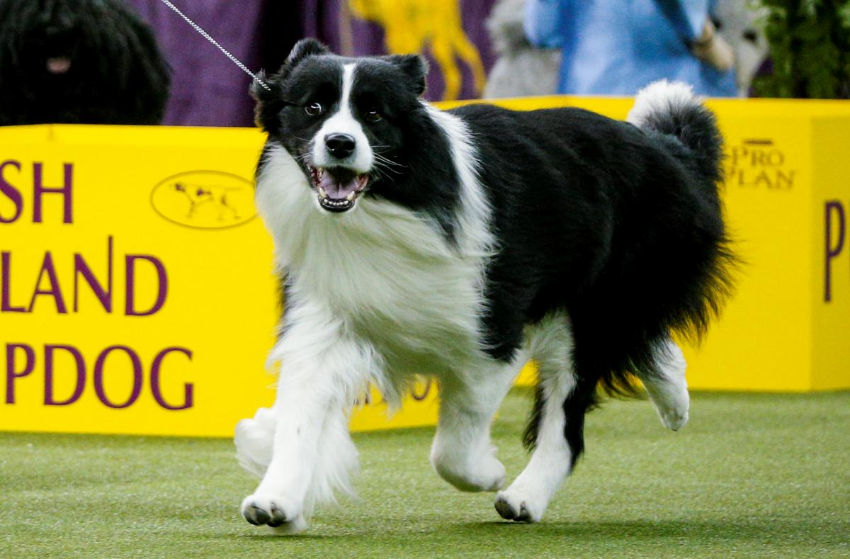 Westminster Dog Show 2018 Live Stream: When, Where To Watch
