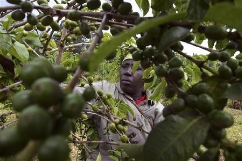 A farmer attends to her coffee bushes at a family plantation in Kiambu district,