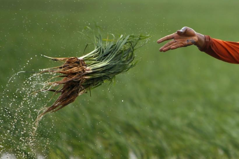 A farmer throws paddy seedlings near Indramayu town in West Java province
