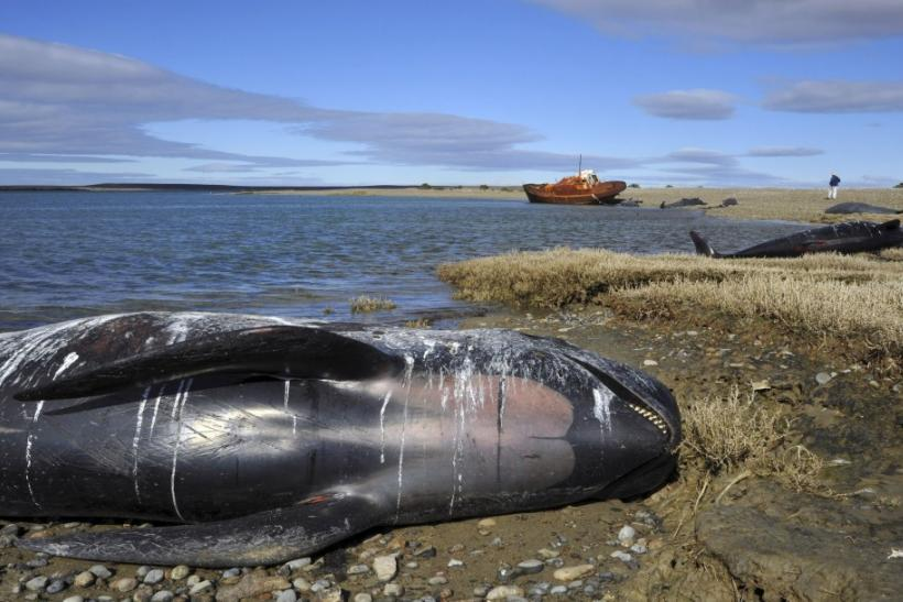The bodies of stranded pilot whales are seen on a beach in the coastal region of Bustamante Bay (2)
